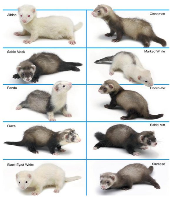 Ferret Color Chart